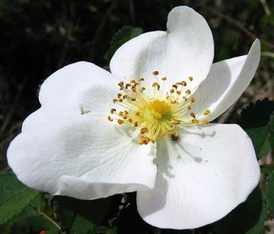 Rosier pimprenelle (Rosa spinosissima)