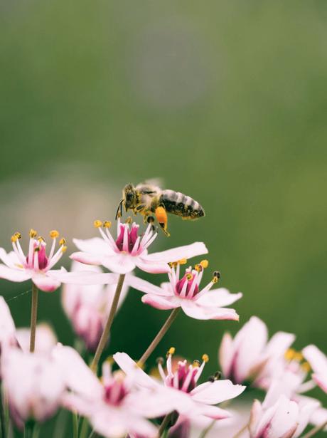 abeille butine fleur rose pour prendre pollen et créer miel - blog déco - clemaroundthecorner