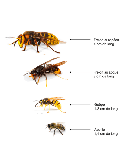 comparaison insectes frelon européen frelon asiatique guêpe abeille - blog - clemaroundthecorner