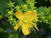Fleur millepertuis...