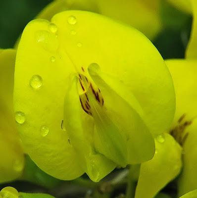 Cytise aubour (Laburnum anagyroides)