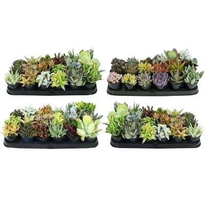 home depot cactus 9 cm succulent plant collection pack home depot cactus rd phoenix