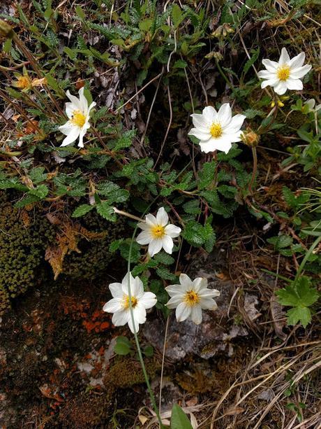 Alpenblumen - Mittenwald -  06. 2019 - Fleurs des Alpes