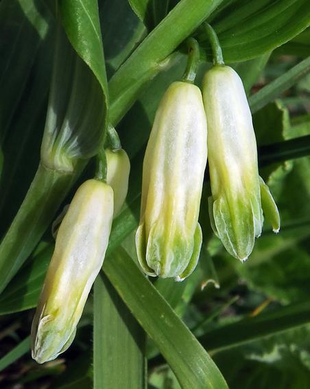 Sceau de Salomon odorant (Polygonatum odoratum)