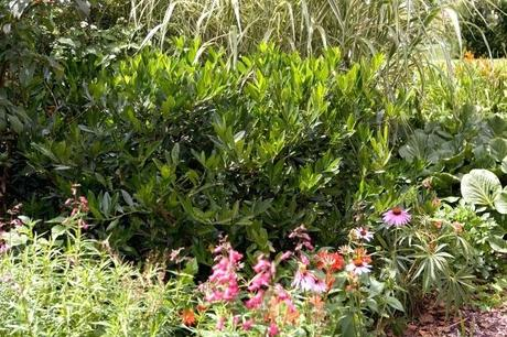 fast growing hedges 2 fast growing hedges zone 9