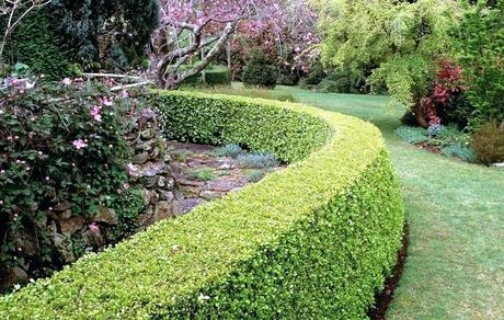 fast growing hedges boxwood shrubs fast growing hedge tips fast growing hedges texas
