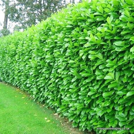 fast growing hedges laurel common laurel cherry laurel makes an excellent garden hedge laurel is evergreen and quick growing fast growing shrubs for privacy