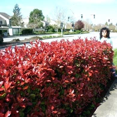 fast growing hedges bare root hedge plants fast growing evergreen hedge zone 7