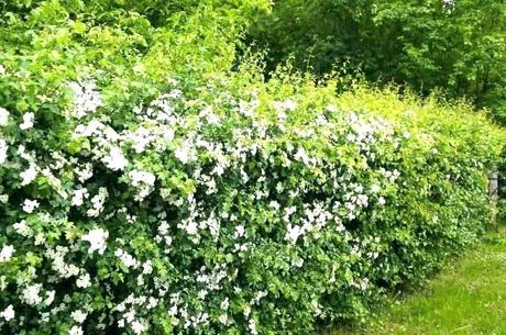 fast growing hedges fence plants fast growing living disadvantages of a ideas grow hedges you can create fast growing fast growing hedges for privacy uk