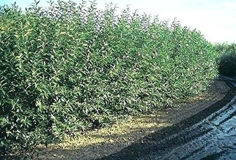 fast growing hedges fastest growing hedge plant fast growing hedge plants south fast growing hedges for privacy zone 9