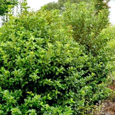 fast growing hedges more views fast growing hedges colorado
