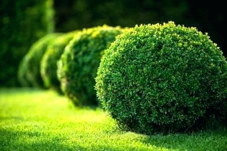 fast growing hedges best hedges to plant boxwood fast growing hedge home improvement loans fast growing shrubs texas