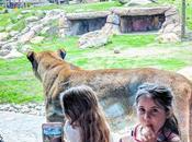 #ZooDeGranby lions très près