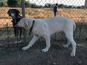 H.Estrella chiot Mastine blanche mois sauver d'urgence adopter chez chiens galgos