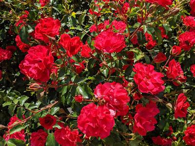 Rosen - Botanischer Garten München - 30 Pics - Les roses du jardin botanique de Munich