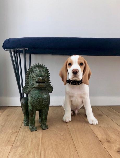 statuettte tigre thailande chien chiot bébé beagle lemon clemaroundthecorner