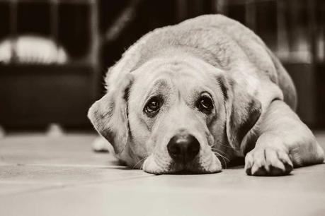 Quelles races de chiens supportent le mieux la solitude ?