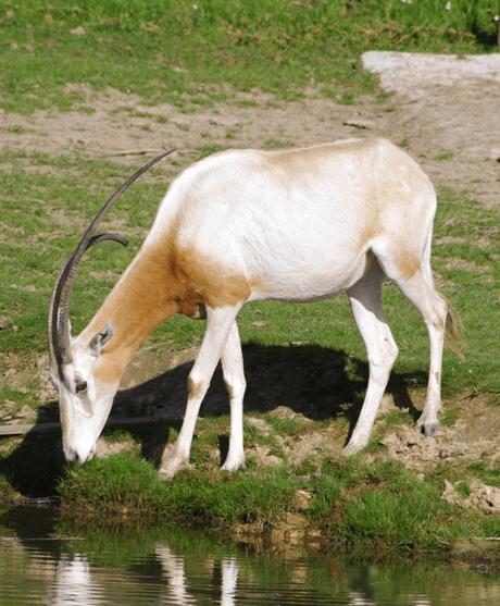 oryx algazelle animaux sauvage zoo réserve naturelle clematc