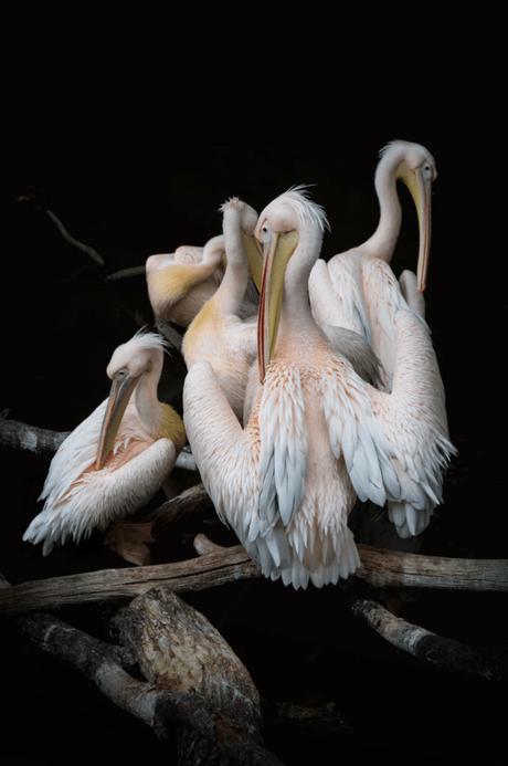 Pélican blanc animal planète sauvage zoo savane safari - blog déco - clematc