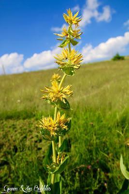 Merveilleuses fleurs des montagnes