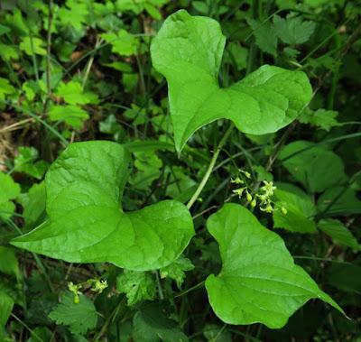 Tamier (Dioscorea communis)