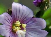 Épilobe petites fleurs (Epilobium parviflorum)