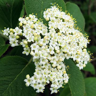 Viorne lantane (Viburnum lantana)