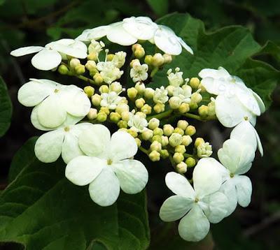 Viorne obier (Viburnum opulus)