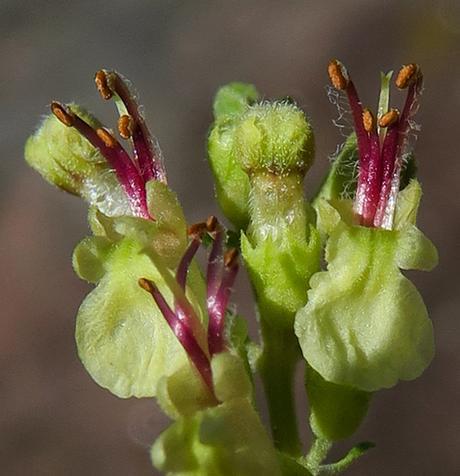 Germandrée scorodine (Teucrium scorodonia)