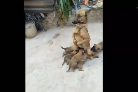 Position de la mère loup à nourrir