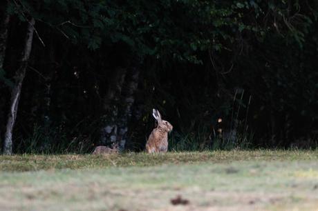 Une hase et son jeune levreau font une courte apparition en lisière de forêt.