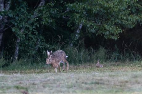 Le levreau s'empresse de suivre sa mère dans une petite course en bordure de champ avant de disparaître dans le bois.