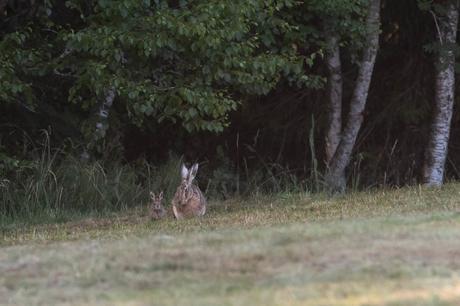 En lisière de forêt, la hase attend impatiente. Soudain, une petite boule de poil sort en bondissant du bois. Le levreau rejoint sa mère pour une brève têtée avant de retourner dans le fourré.