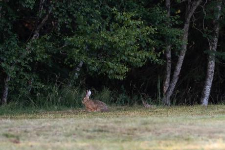 Le jeune levreau est resté bien à l'abri de la forêt durant toute la journée. Au crépuscule, il rejoint sa mère durant quelques minutes pour une têtée-express avant de retourner se cacher.