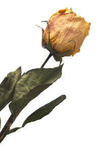 Comment garder un bouquet de roses fraîches