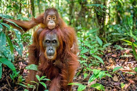 Escapade à Bornéo : une rencontre inoubliable avec les orangs-outans
