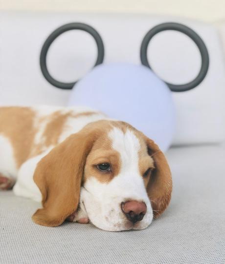 chiot beagle conseil 3 mois éducation alimentation mange vite