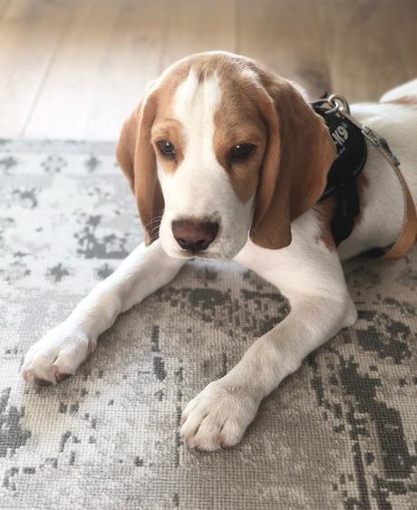 avis accessoire design chien beagle chiot harnais julius k9
