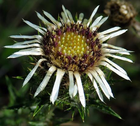 Carline commune (Carlina vulgaris)