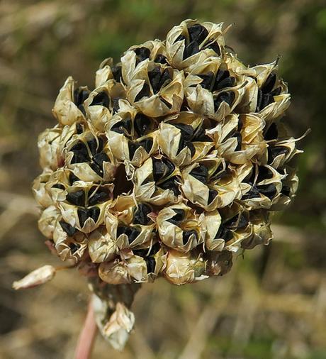 Ail à tête ronde (Allium sphaerocephalon)