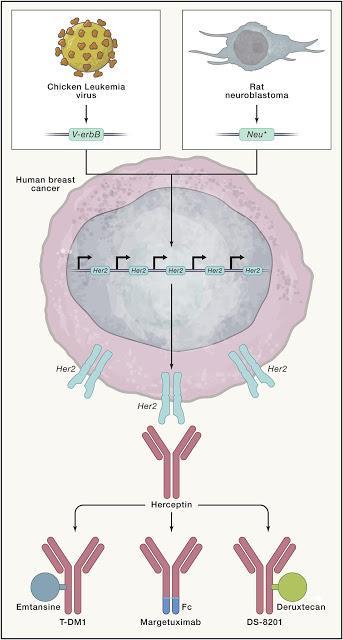 #Cell #cancer #oncogène #herceptin Herceptin : Un Premier Assaut sur les Oncogènes qui Déclenchèrent une Révolution