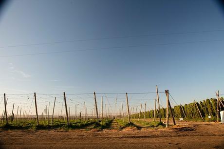 Les champs de houblon des ranchs de charpentier après la récolte des houblons (et non des vignes).