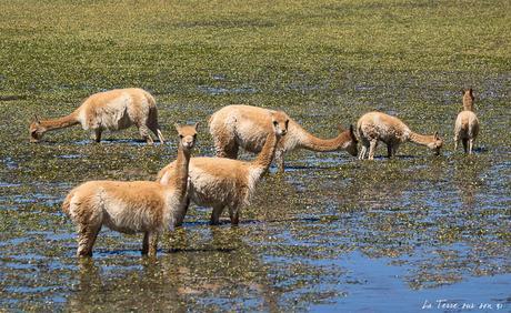 Bofedal de Putana : au retour des Geysers de Tatio