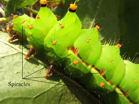 Stigmates (spiracles) chez une chenille d'Actias selene