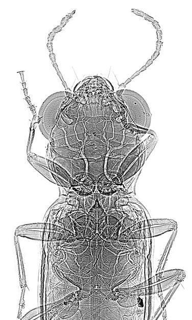coléoptère Notiophilus aux rayons X