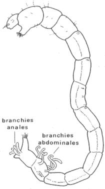 Branchies anales d'une larve de Chironome