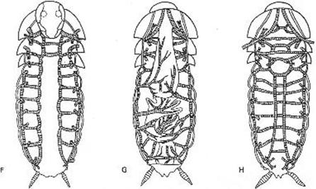 Schéma du système trachéen d'une blatte