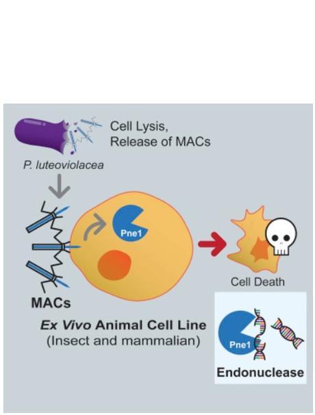 Les MAC (Metamorphosis Associated Contractile structure) ciblent des cellules eucaryotes