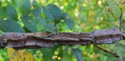 Orme champêtre à écorce subéreuse (Ulmus minor var. suberosa)
