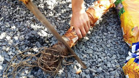 Alocasia Macrorrhiza : La décapitation et renaissance! (part 2)